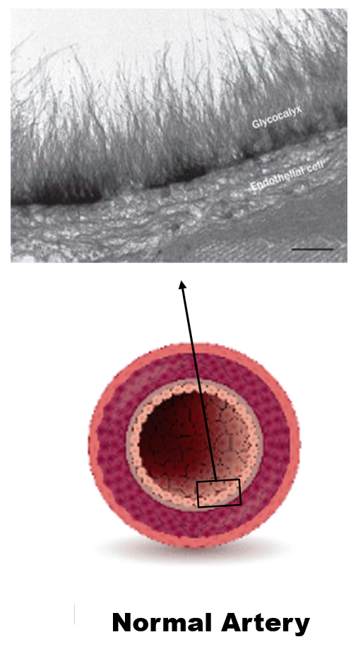 glycocalyx function
