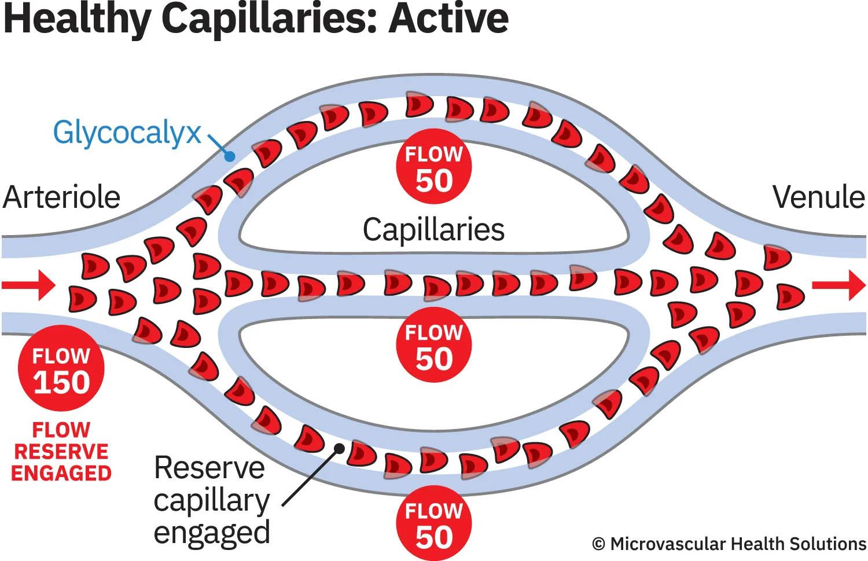 healthy capillaries active